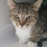 Adopt A Pet :: Kirara - Columbiana, AL