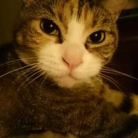 Adopt A Pet :: MAGGIE - THORNHILL, ON