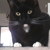 Adopt A Pet :: Tommy - Vancouver, BC