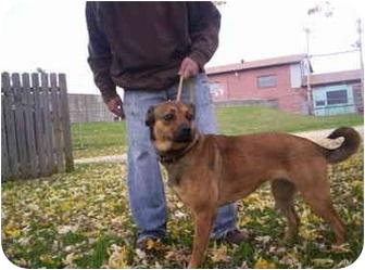 Boxer/Golden Retriever Mix Dog for adoption in Olney, Illinois - nan