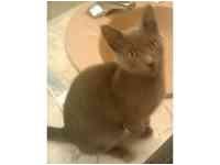 Domestic Shorthair Kitten for adoption in Tampa, Florida - John