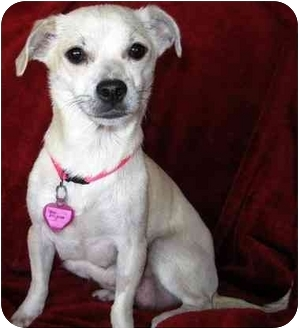 Chihuahua Mix Dog for adoption in Vista, California - Gigi