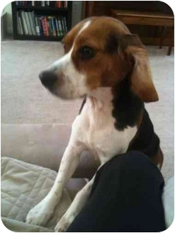 Beagle Dog for adoption in Indianapolis, Indiana - Ralphie