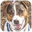 Photo 1 - Jack Russell Terrier Mix Dog for adoption in Eatontown, New Jersey - Cosmo