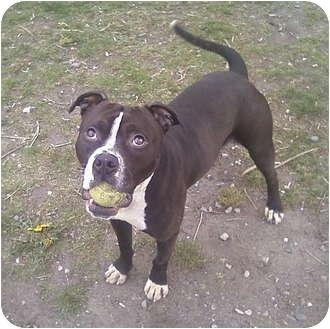 American Pit Bull Terrier/Boston Terrier Mix Dog for adoption in Bellingham, Washington - Sly