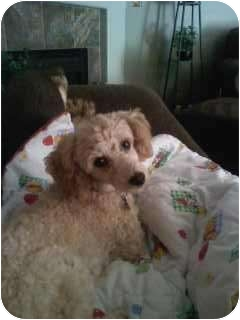 Poodle (Miniature) Mix Dog for adoption in Wapato, Washington - Apricot