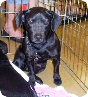 Dachshund/Jack Russell Terrier Mix Dog for adoption in West Palm Beach, Florida - TRIXIE