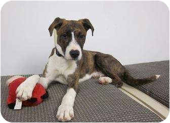 Boxer/Labrador Retriever Mix Puppy for adoption in Medfield, Massachusetts - Mick
