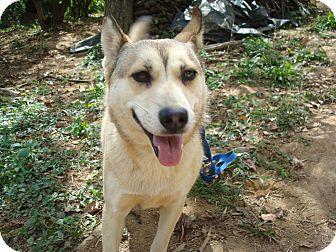 Corgi/Husky Mix Dog for adoption in Redmond, Washington - Piper