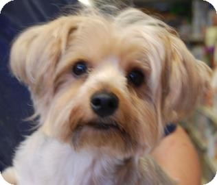Yorkie, Yorkshire Terrier Mix Dog for adoption in Brooklyn, New York - Lily