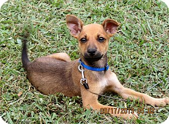 Feist/Dachshund Mix Puppy for adoption in Salem, New Hampshire - PUPPY WESLEY