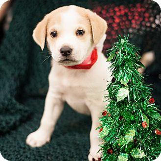 Labrador Retriever Mix Puppy for adoption in Dallas, Texas - Bengie