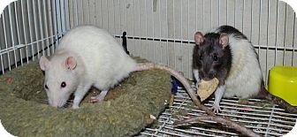 Rat for adoption in Hammond, Indiana - Ginger & Jade