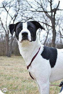 Pointer/Great Pyrenees Mix Dog for adoption in Stillwater, Oklahoma - Daisy