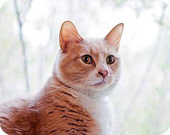 Domestic Shorthair Cat for adoption in San Antonio, Texas - George
