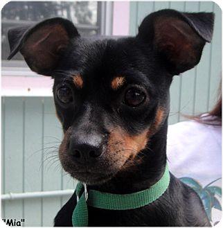 Chihuahua/Dachshund Mix Dog for adoption in Key Largo, Florida - Mia