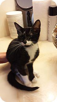 Domestic Shorthair Kitten for adoption in Media, Pennsylvania - Nibbles (Special-$80)