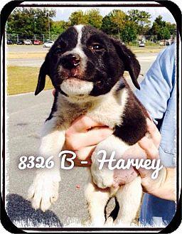 Labrador Retriever Mix Puppy for adoption in Dillon, South Carolina - Harvey