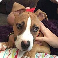 Adopt A Pet :: Gru - Southampton, PA