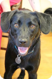 Labrador Retriever/Terrier (Unknown Type, Medium) Mix Dog for adoption in Knoxville, Tennessee - Lucy