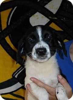Border Collie/Labrador Retriever Mix Puppy for adoption in Oviedo, Florida - Emma
