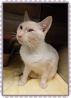 Siamese Cat for adoption in Marietta, Georgia - PETTIFOR (R)