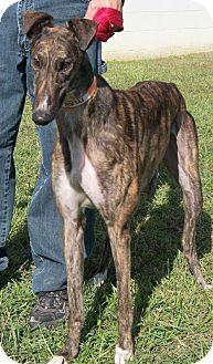Greyhound Dog for adoption in Randleman, North Carolina - Mars