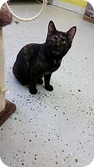 Domestic Shorthair Cat for adoption in Greenville, Kentucky - Clarice