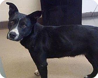 Border Collie/Labrador Retriever Mix Dog for adoption in Las Vegas, Nevada - Foxy