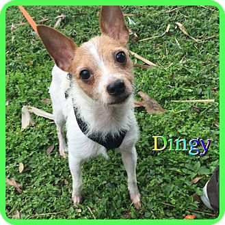 Jack Russell Terrier/Terrier (Unknown Type, Small) Mix Dog for adoption in Hollywood, Florida - Dingy