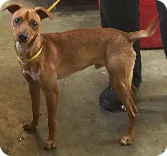 Miniature Pinscher Mix Dog for adoption in Orlando, Florida - Scooby