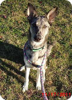 Catahoula Leopard Dog/Shepherd (Unknown Type) Mix Dog for adoption in Lavon, Texas - Mr Merle