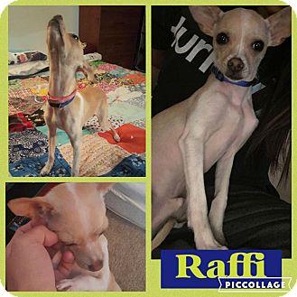 Chihuahua Dog for adoption in ST LOUIS, Missouri - Raffi