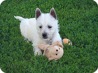Westie, West Highland White Terrier Puppy for adoption in Sullivan, Missouri - Archie