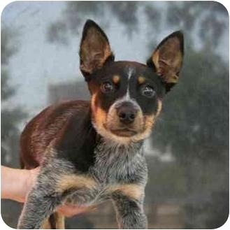 Blue Heeler/Rat Terrier Mix Puppy for adoption in Denver, Colorado - Jasper