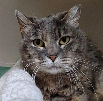 Domestic Shorthair Cat for adoption in Denver, Colorado - Polly