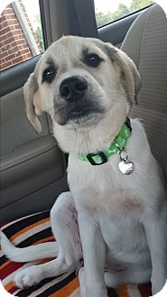 Labrador Retriever/Great Pyrenees Mix Puppy for adoption in Huntsville, Alabama - Luckie Lady