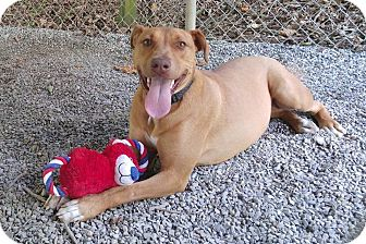 Labrador Retriever/Pit Bull Terrier Mix Dog for adoption in Bryson City, North Carolina - Nancy
