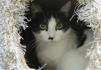 Domestic Shorthair Cat for adoption in North Hollywood, California - Eloise