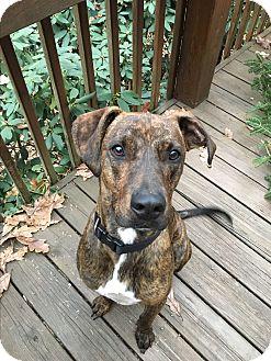 Great Dane/Hound (Unknown Type) Mix Dog for adoption in North Wilkesboro, North Carolina - Chief