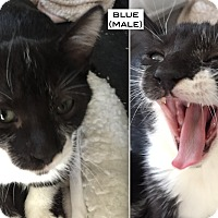 Adopt A Pet :: Blue - Santa Monica, CA