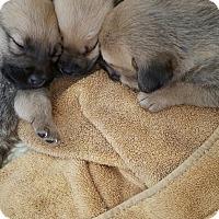 Adopt A Pet :: Pattern Litter - Evergreen, CO