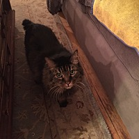 Domestic Longhair Cat for adoption in Rolling Meadows, Illinois - T BONE