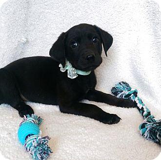 Labrador Retriever Mix Puppy for adoption in Elkton, Maryland - Converse