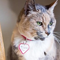 Calico Cat for adoption in Washougal, Washington - Brighton