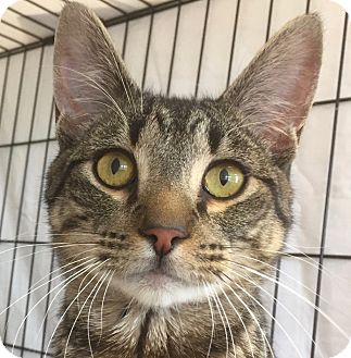 Domestic Shorthair Cat for adoption in Norwalk, Connecticut - Ward