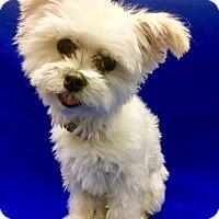 Adopt A Pet :: Tiny Bette - Encino, CA