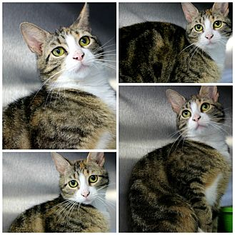 Domestic Shorthair Cat for adoption in Forked River, New Jersey - Dandelion