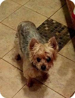 Yorkie, Yorkshire Terrier Dog for adoption in Bealeton, Virginia - Taffy