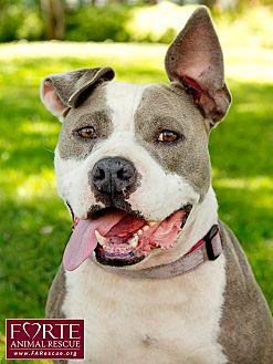 American Staffordshire Terrier Mix Dog for adoption in Marina del Rey, California - Panda